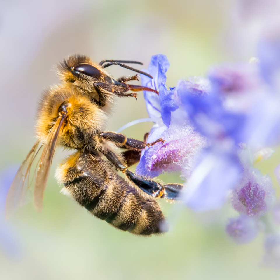 Honey Bee photograph