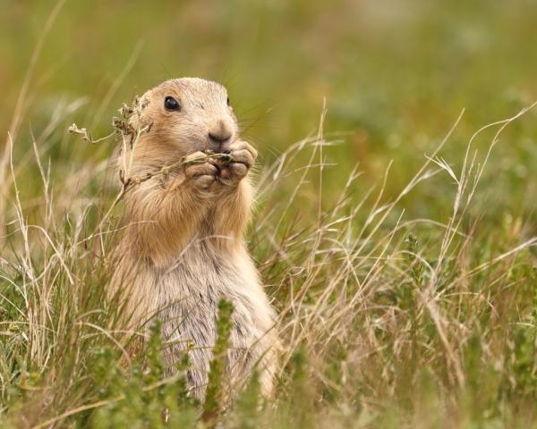 photograph of a Prairie Dog