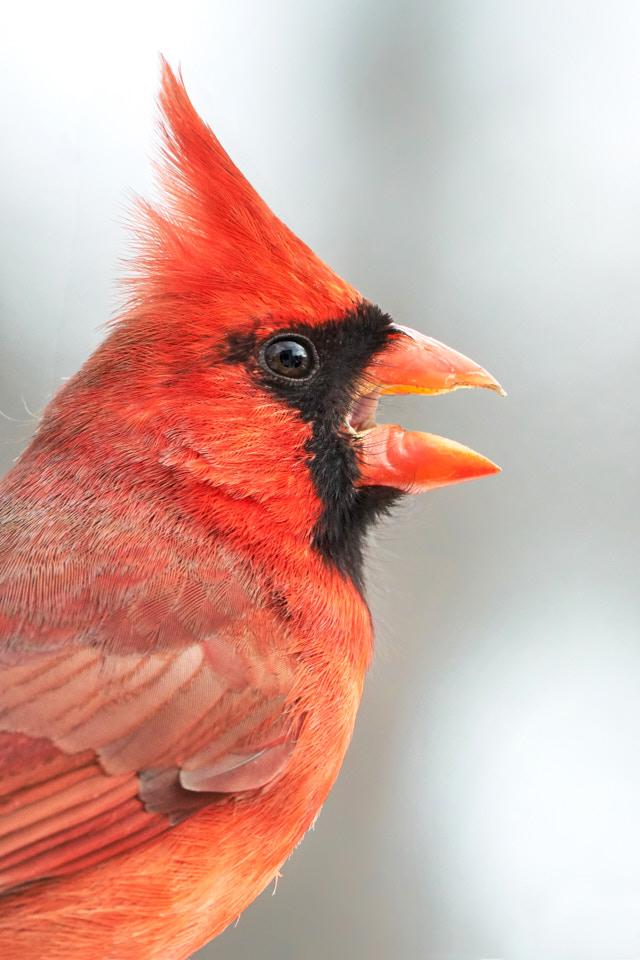 photograph of a Cardinal