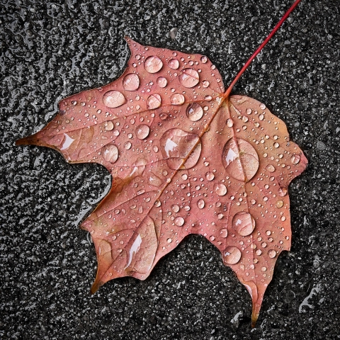 photograph of Maple leaf in the rain