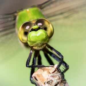 Macro photog of a dragonfly