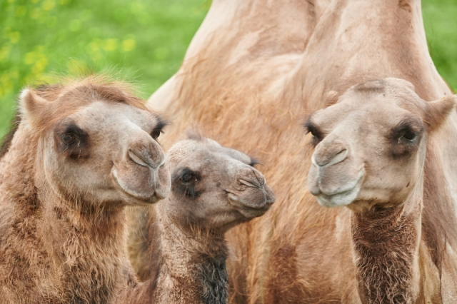 photograph of camels