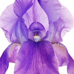macro photograph of purple iris