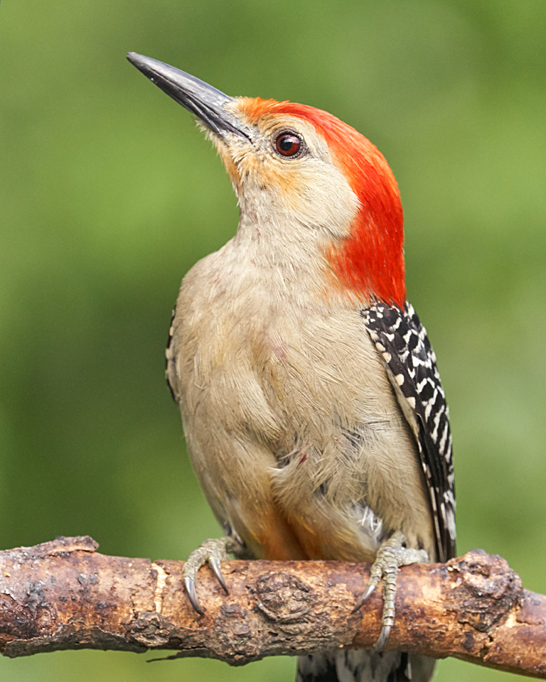 Bird photography: a red bellied woodpecker .