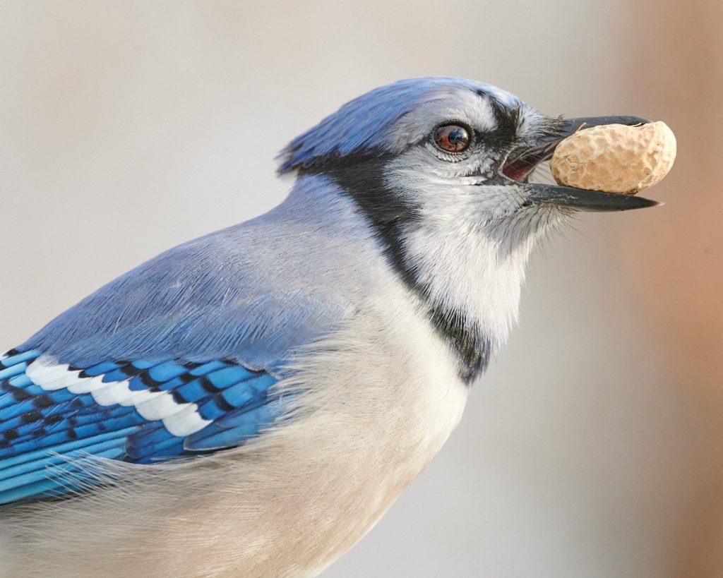 Bird photography: Blue Jay