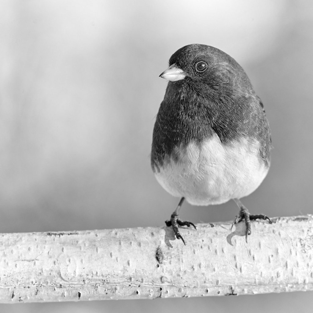 Photography, birds, Junco, black and white, monochrome, Nikon, Picture Control, EVF, viewfinder, composition, histogram