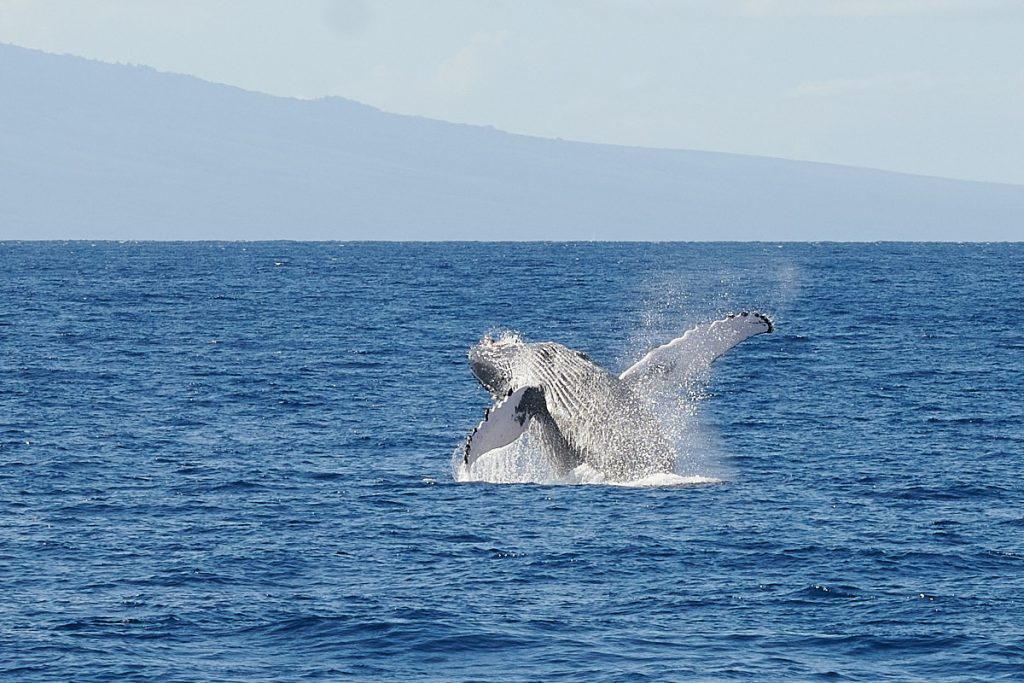 Photography of Humpback Whales, Maui, Hawaii