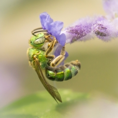 photograph of green Haictid bee
