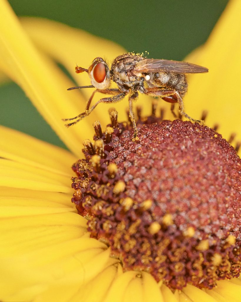 Hoverfly - macro photo with ring flash