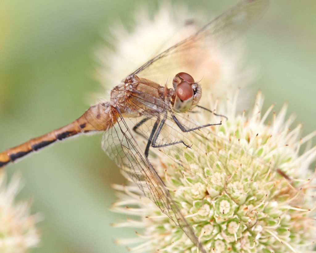 Dragonfly - macro photo with ring flash