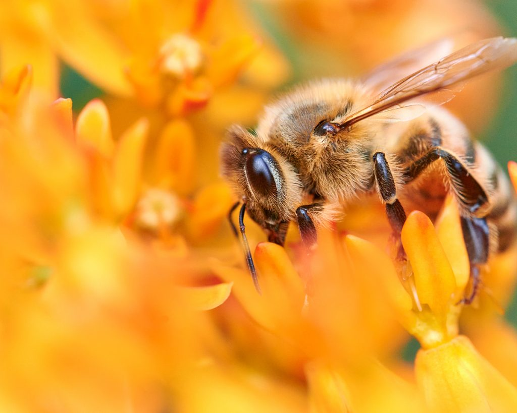 Honeybee on Butterflyweed
