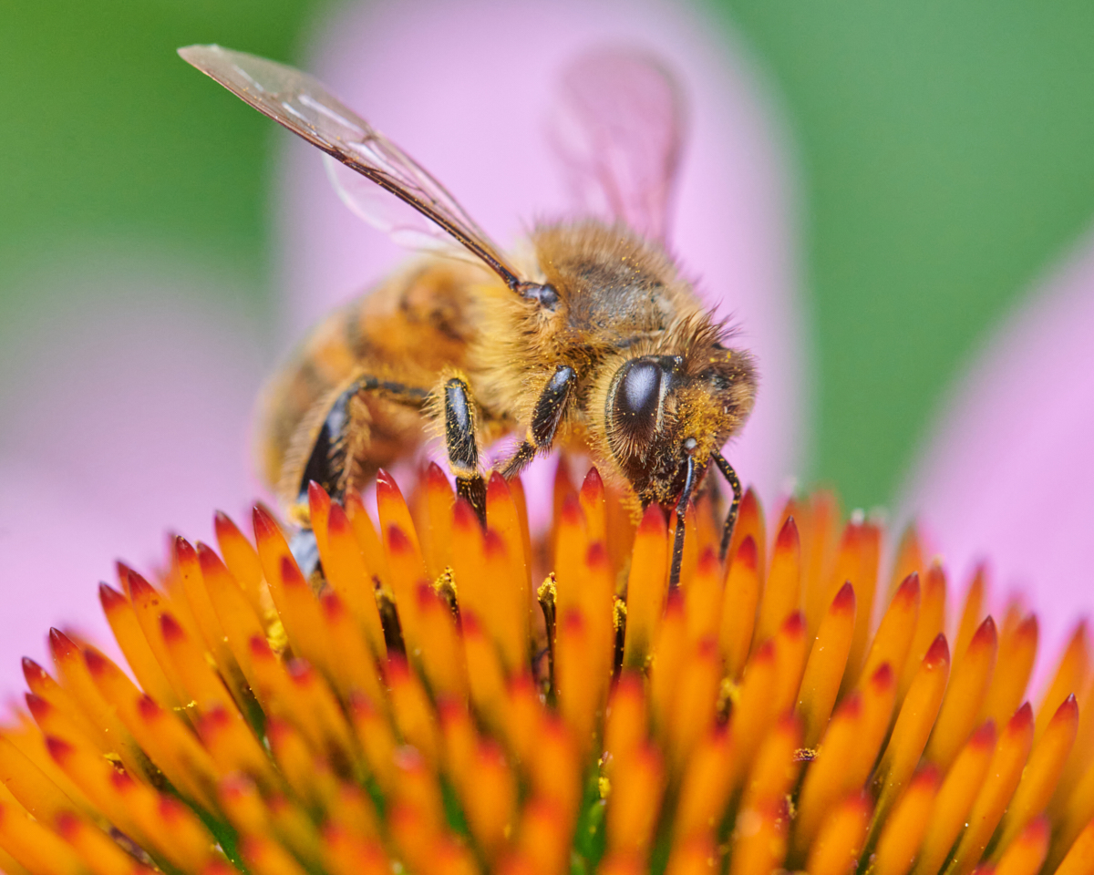 photograph of a honey bee
