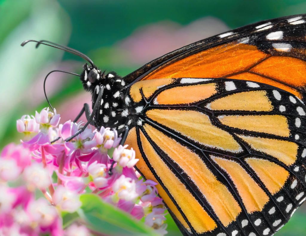 macro photograph of a Monarch butterfly