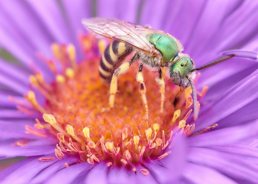 Macro photograph of a green Halictid bee