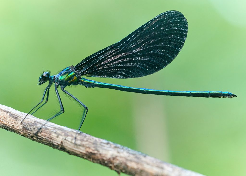 Photography of an Ebony Jewelwing damselfly insect