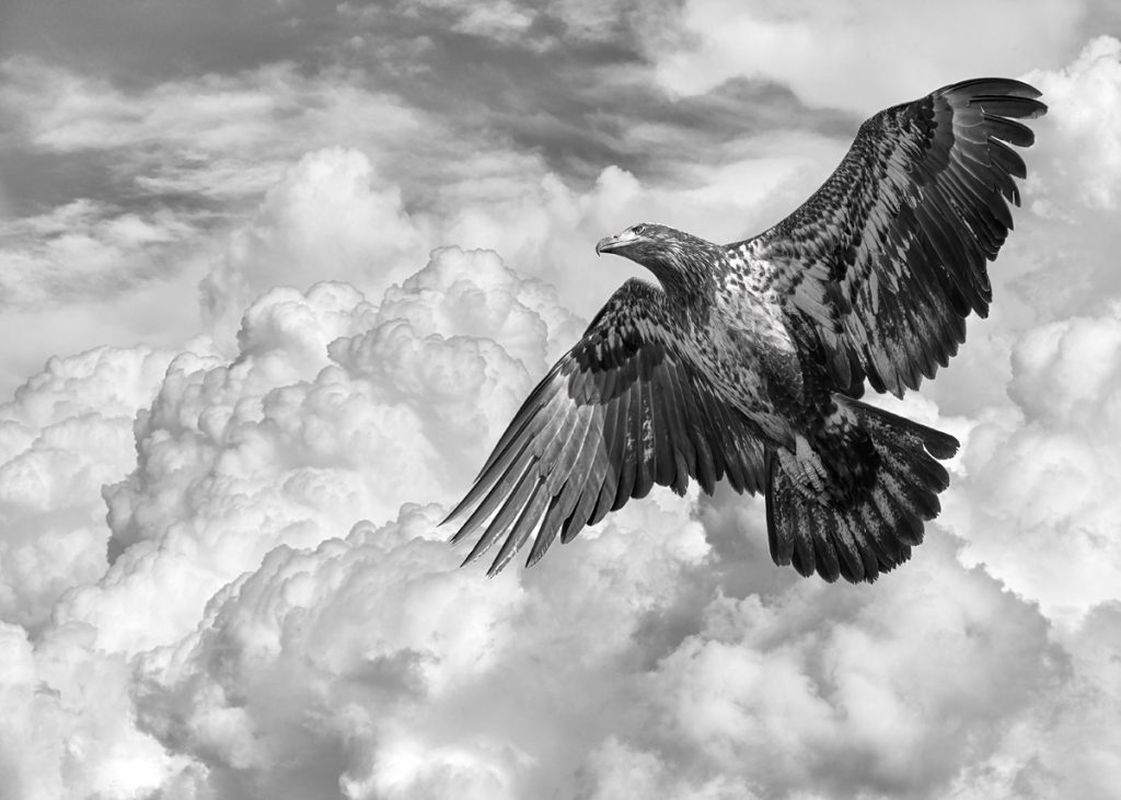 Photograph of a young bald eagle gaining altitude against the clouds.