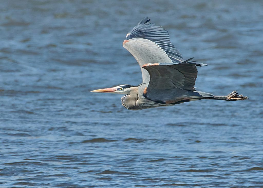 Great Blue Heron over the Mississippi.