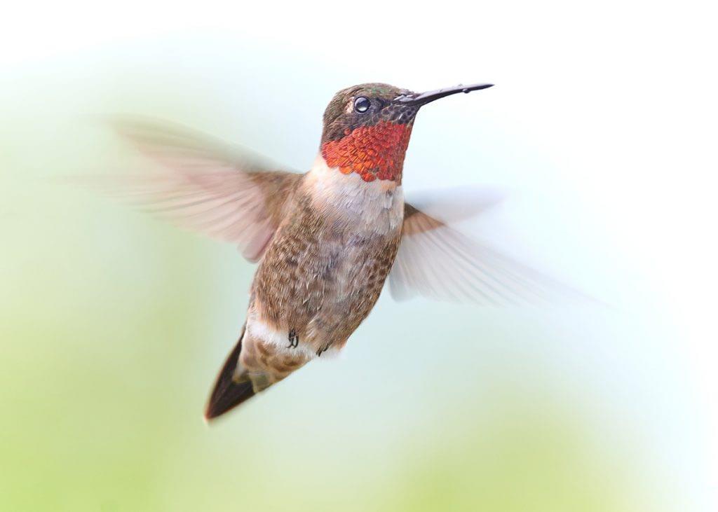 photograph of ruby throated hummingbird