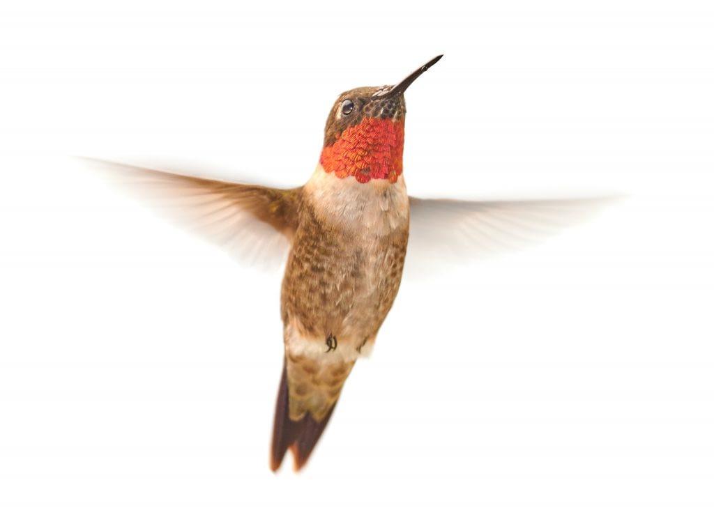 photo of ruby throated hummingbird