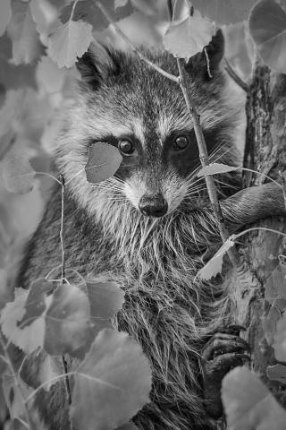 raccoon photograph
