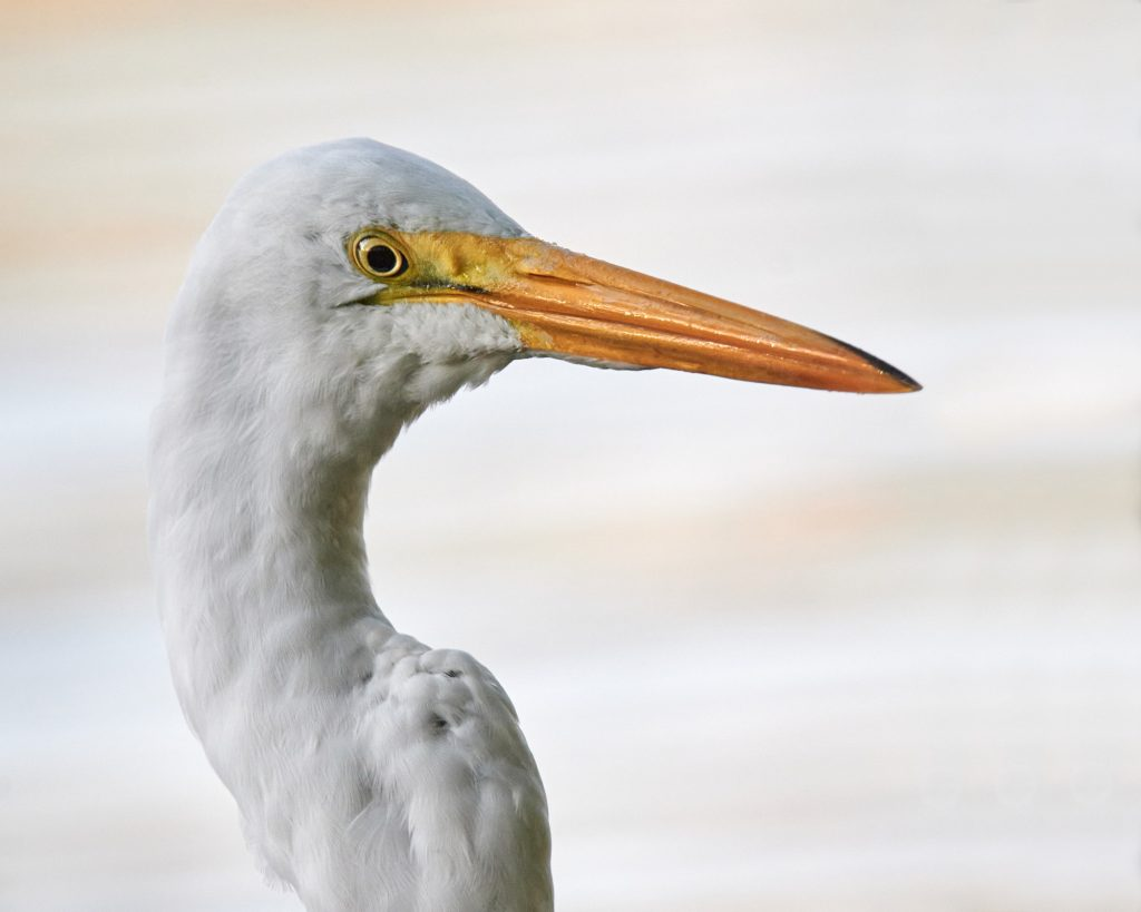 photograph of Great White Egret