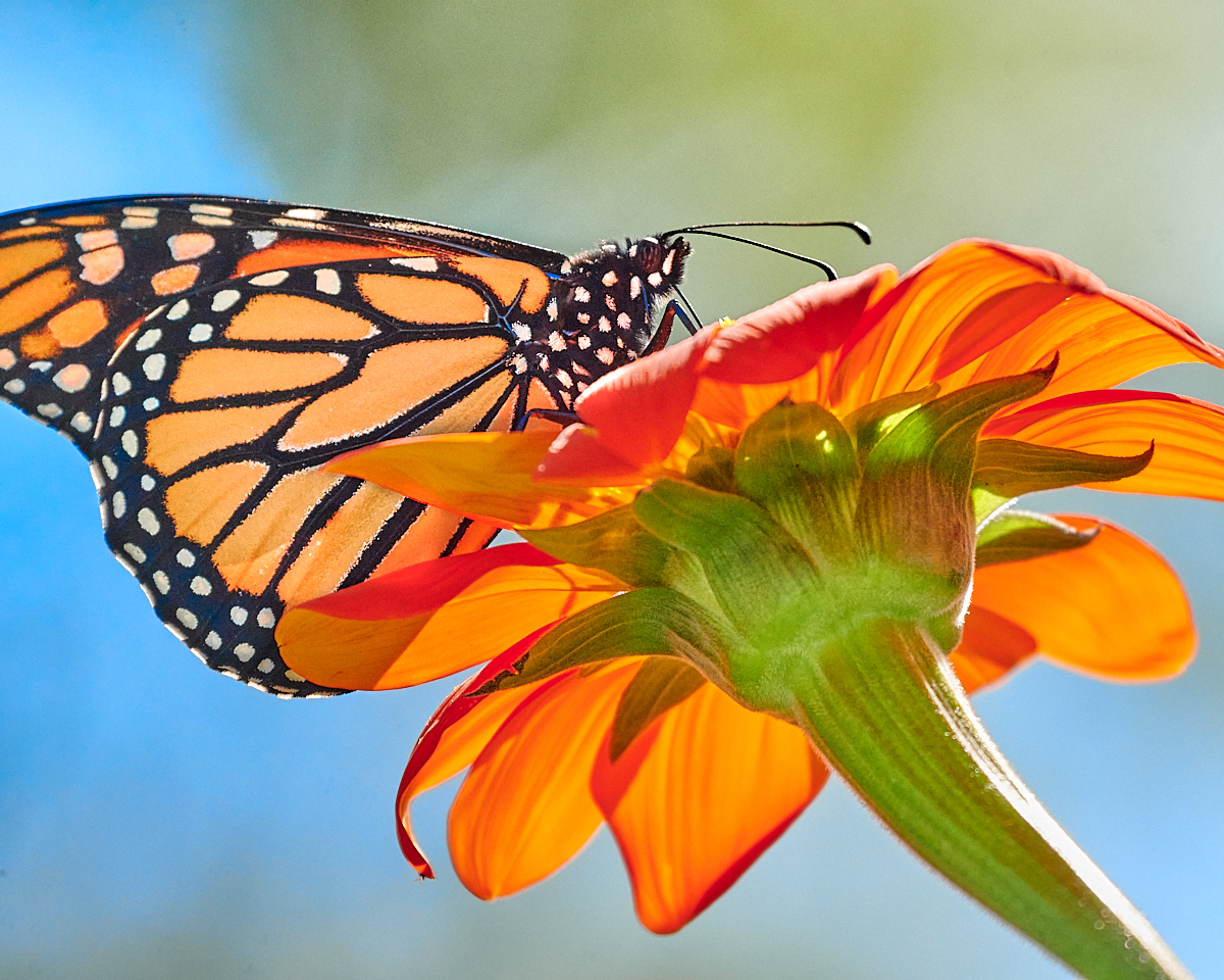 photograph of Monarch buttterfly
